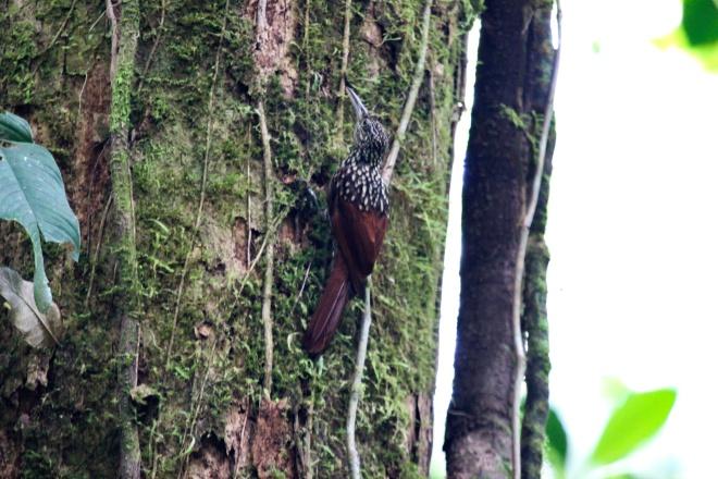 black-striped woodcreeper_xiphorhynchus lachrymosus
