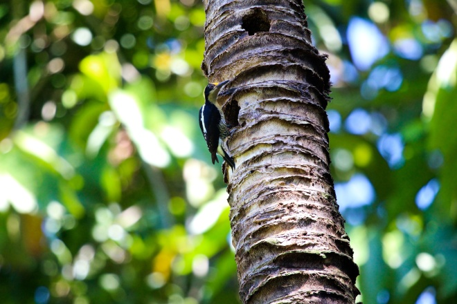 golden naped woodpecker_2