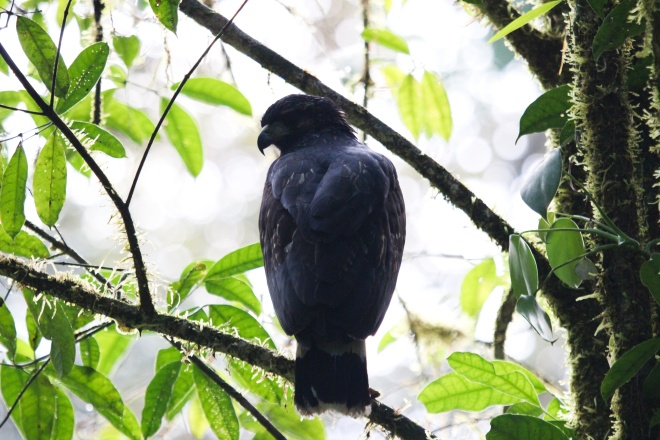 halcón negro_2