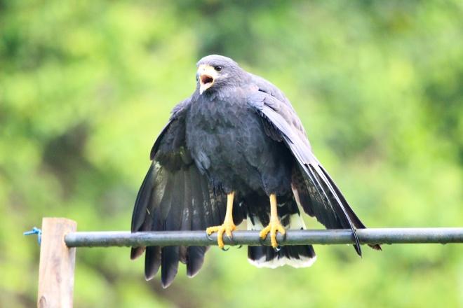 halcón negro_buteogallus anthracinus_4
