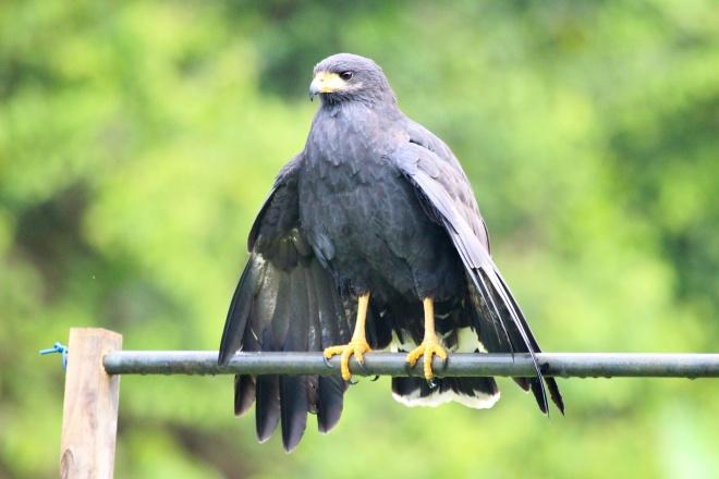 halcón negro_buteogallus anthracinus_5