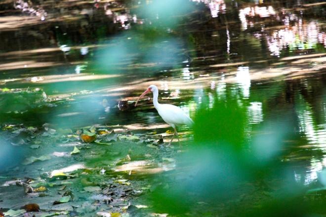 ibis blanco_eudocimus albus