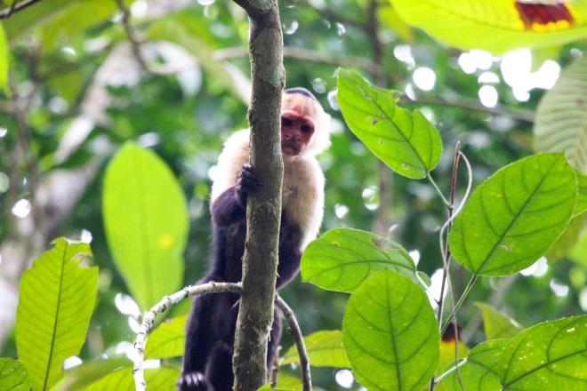 mono capuchino cara blanca_cebus capucinos
