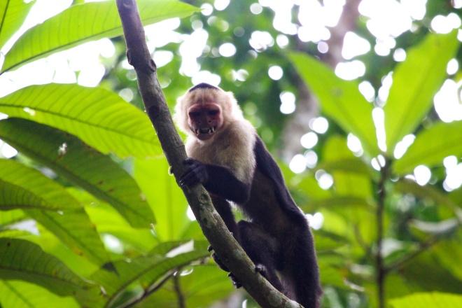 mono capuchino cara blanca_cebus capucinus_2