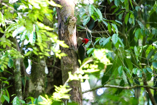 pale-billed woodpecker_campephilus guatemalensis