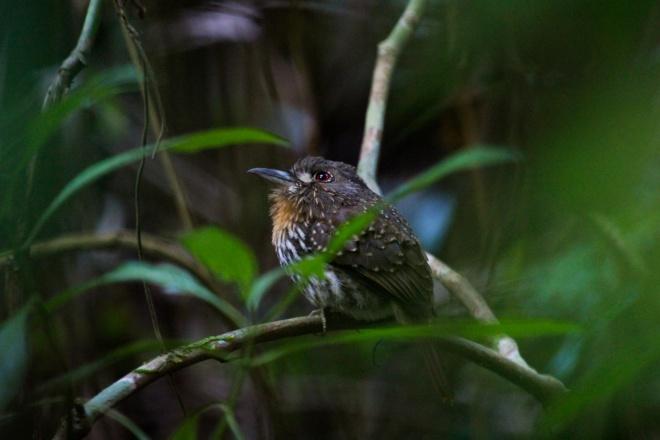 puffbird_malacoptila panamensis_hembra_2